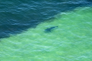 Over 150 great white sharks spotted off coast of vacation spot Cape Cod