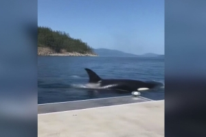 'That's really close': Orca pod comes within inches of Olympic rower's B.C. dock