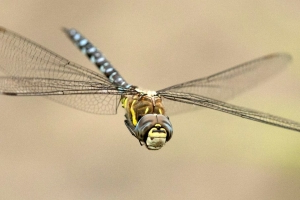 Could a Dragonfly's Killer Instinct Be Adapted for Military Missiles?