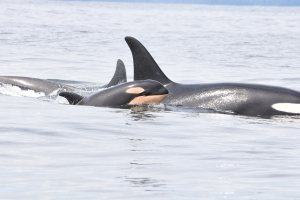 Three southern resident killer whales declared dead plunging population to 73