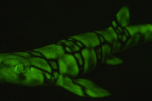 These Sharks Glow Green in the Dark and Scientists Now Know Why