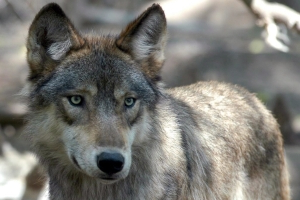 Banff campground closed after wolf attack