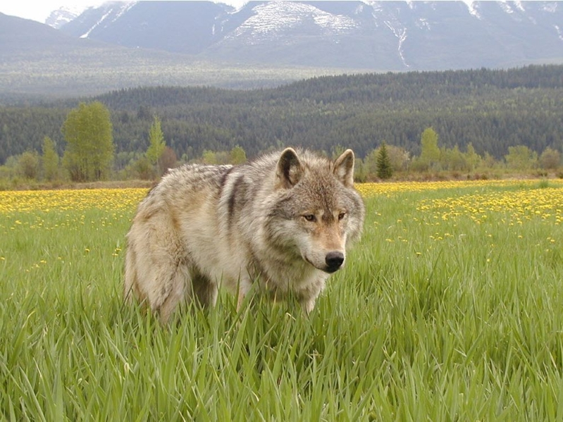 Wolf euthanized following attack at Banff campground