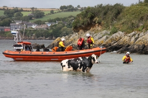 Watch: The water's friesian! - Kinsale RNLI involved in daring rescue of seafaring cow