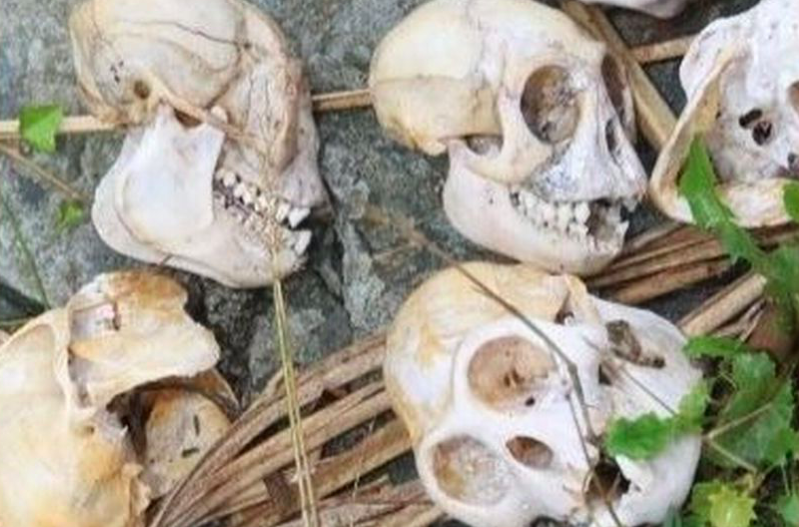 Monkey skulls seized from addresses in Devon following morning raids