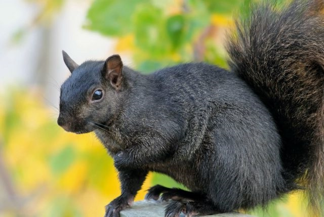 Mystery Solved: Scientists Have Figured Out Why Some Squirrels Are Black