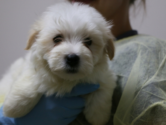 Canada: Seized Havanese dogs, puppies placed under