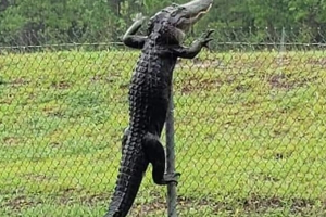 Huge Alligator Caught on Camera Climbing Over Fence at Florida Navy Base: 'They Don't Respect Our Security Measures'