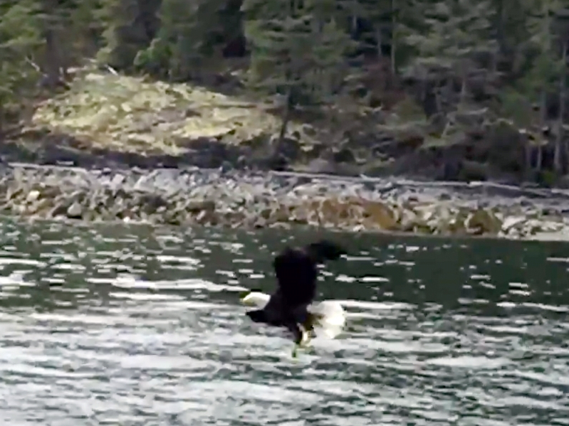 Incredible Video: Vancouver fire chief captures bald eagle snatching fish
