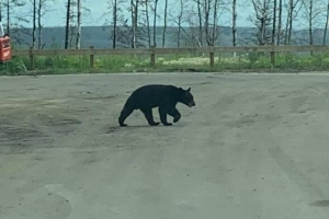 'The worst I've ever seen it': Bears roaming Fort McMurray neighbourhood, scaring parents