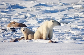 Inuvik man who claimed self-defence found guilty of killing polar bear without tag