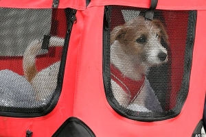 Look out Larry! Boris Johnson and Carrie Symonds' Jack Russell rescue pup arrives at No 10 - but could PM's new pet spell misery for Downing Street cat?