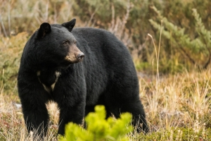 Woman killed by bear in Lake of the Woods cottage country