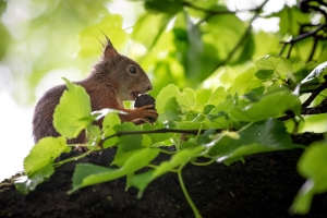 Squirrels eavesdrop on birds to stay out of danger, study suggests