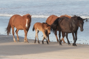 Wild horses in North Carolina won't be evacuated because they have their own trick to survive hurricanes