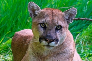 California man facing criminal charges for protected mountain lion killing