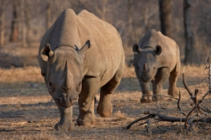 Rare black rhinos relocated to Tanzania in Serengeti repopulation plan