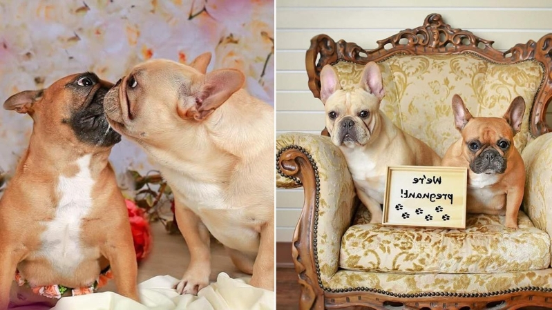 These Bulldogs Had the Cutest Maternity Photo Shoot