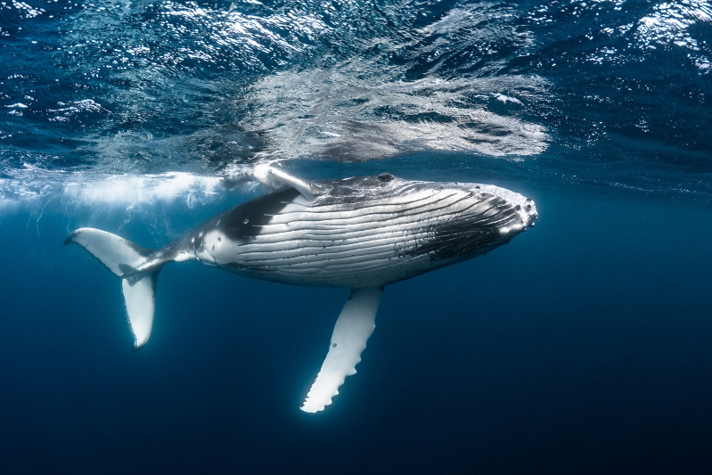 a fish swimming under water: This young humpback whale is worth millions of dollars over its lifetime, just in its ability to capture carbon and sink it to the ocean floor after its death.