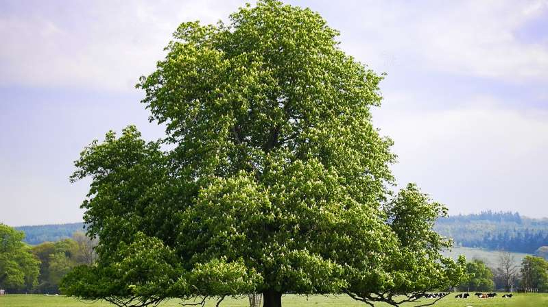 a large tree: A horse chestnut tree (Photo: Jean Mottershead, <a href=
