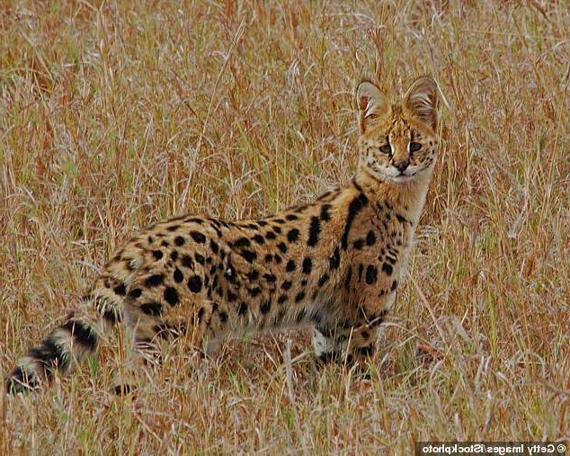 a cat is standing on a dry grass field: The animal, believed to be a £4,000 Savannah cat, a cross between a domestic cat and a large eared wild African cat called a Serval (pictured) - lunged at the youngsters