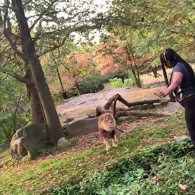 a person standing next to a tree: A woman climbed over a visitor safety barrier at the Bronx Zoo's African lion exhibit over the weekend, according to the zoo and video of the encounter that was posted online.