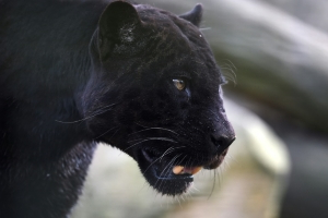 French man held after black panther stolen from zoo