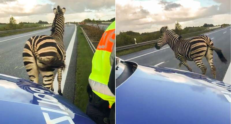 a group of zebra standing on top of a bed: The zebra was shot dead after causing a crash (Picture: AFP/Getty)