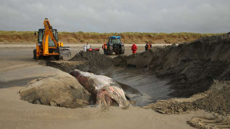 a truck driving down a dirt road: Final resting place: The young fin whale is covered by the sands at Dollymount Strand yesterday. Photo: Mick Carolan