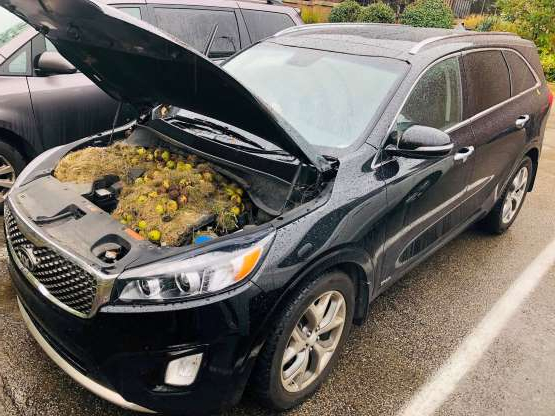 a car parked in a parking lot: Walnuts and grass hidden by squirrels are seen under the hood of a car, in Allegheny County, Pennsylvania, U.S. in this October 7, 2019 image obtained via social media