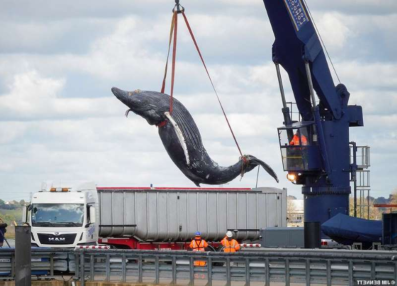 a large ship in the water: The magnificent animal, nicknamed Hessy, had been travelling back and forth over a stretch of five miles after it was first sighted near Dartford Bridge in Kent on Sunday, but was found dead at around 5pm yesterday. It is seen this morning being loaded onto a trailer at Gravesend on its way for dissection by the Zoological Society of London