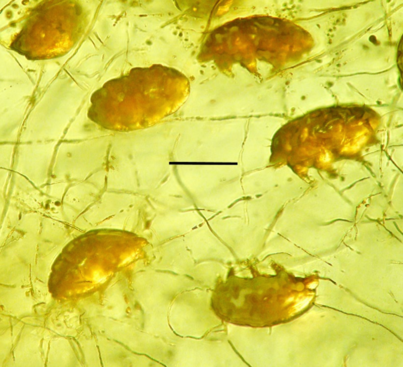 Adult mold pigs in amber.