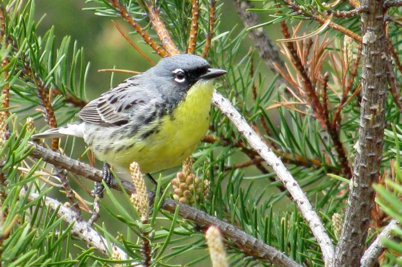 FILE - This May 19, 2008, file photo shows a Kirtland's warbler, an endangered songbird that lives in the jack pine forests of northern Michigan, near Mio, Mich. More than a half-century after declaring the Kirtland's warbler endangered, the federal government Tuesday, Oct. 8, 2019, said the small, yellow-bellied songbird had recovered and was being dropped from its list of protected species.(AP Photo/John Flesher File)
