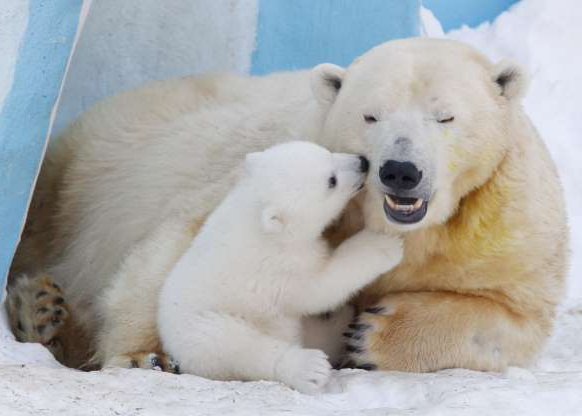 Slide 3 of 20: NOVOSIBIRSK, RUSSIA. FEBRUARY 27, 2016. A polar bear named Gerda and a polar bear cub playing in the Novosibirsk Zoo. Kirill Kukhmar/TASS (Photo by Kirill Kukhmar\TASS via Getty Images)