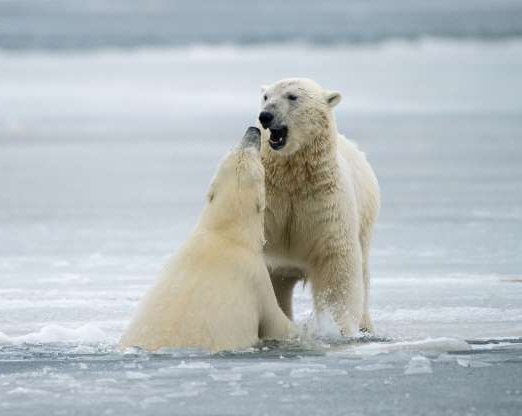 Slide 5 of 20: *** EXCLUSIVE *** KAKTOVIC, AK - OCTOBER 16: Polar bears pictured playing fight on the ice at the Arctic village on October 16, 2015 in Kaktovic, Alaska. TWO polar bears keep themselves warm by play fighting in the snow in the Arctic village of Kaktovic, Alaska. The beautiful images were shot in October 2015 by 65-years-old, award-winning nature photographer Howie Garber. The predators can be seen taking swipes at each other with their huge paws and exchanging playful bites. PHOTOGRAPH BY Howie Garber / Barcroft Media UK Office, London. T +44 845 370 2233 W www.barcroftmedia.com USA Office, New York City. T +1 212 796 2458 W www.barcroftusa.com Indian Office, Delhi. T +91 11 4053 2429 W www.barcroftindia.com (Photo credit should read Howie Garber / Barcroft Media / Barcroft Media via Getty Images)