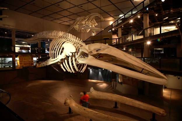 Slide 7 of 17: Blue Whale skeleton at Iziko South African Museum. Cape Town, Western Cape, South Africa, Southern Africa, Africa
