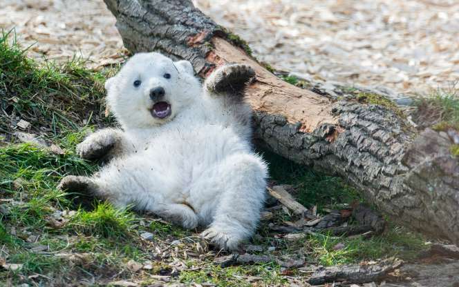 Slide 8 of 20: A polar bear cub plays in its enclosure at the Tierpark Hellabrunn zoo in Munich, southern Germany, on March 22, 2014. Polar bear twins were born on December 9, 2013 at the zoo.      AFP PHOTO / DPA / MARC MUELLER / GERMANY OUT        (Photo credit should read MARC MUELLER/AFP/Getty Images)
