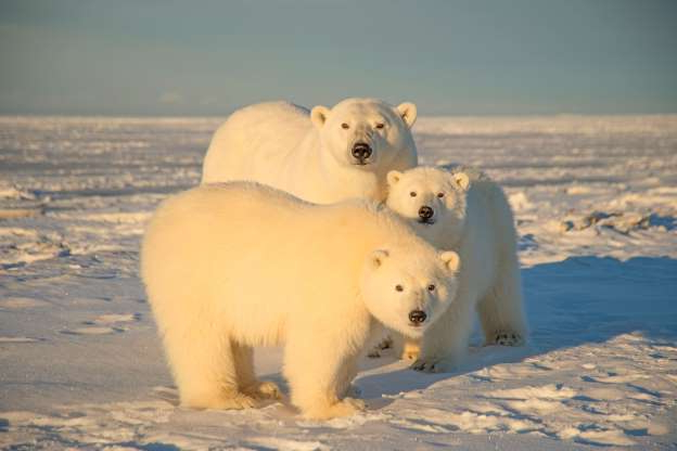 Slide 9 of 20: ***EXCLUSIVE***  NORTH SLOPE, AL - 2014: FILE PHOTO shows a polar bear seen with cubs at Arctic National Wildlife Refuge in 2014, in North Slope, Alaska.  A POLAR BEAR waves hello as the world prepares to mark International Polar Bear Day. The fluffy white animals are pictured pawing the camera, peering onto a boat and nuzzling its mate. The carnivorous creatures, which call the Arctic Circle their hostile home, are at risk of losing their icy habitat thanks to global warming. International Polar Bear Day on February 27 encourages people to curb their carbon output. PHOTOGRAPH BY Steven Kazlowski / Barcroft Media (Photo credit should read Steven Kazlowski / Barcroft Medi via Getty Images)