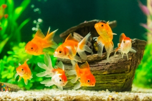 The epic history of the humble goldfish