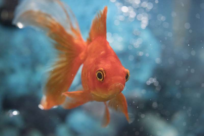 The goldfish (Carassius auratus) is a freshwater fish in the family Cyprinidae of order Cypriniformes. It was one of the earliest fish to be domesticated, and is one of the most commonly kept aquarium fish.