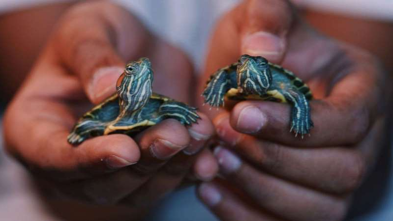 a hand holding a turtle: A Child holds two Red eared slider turtles.
