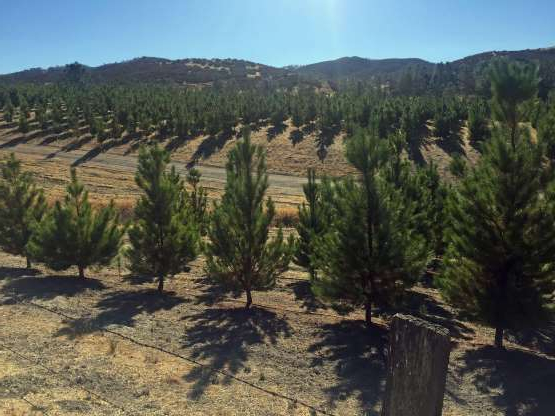 a tree with a mountain in the background: From prison, Fred Woods has been directing at least three businesses, including the Ambria Acres Christmas tree farm.