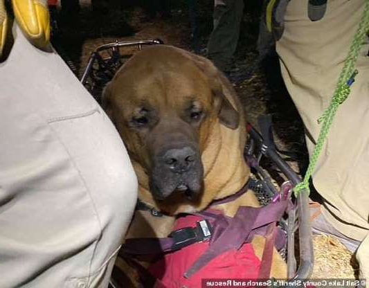 a dog looking at the camera: Officials rescued Floyd, a 190-pound, 3-year-old Mastiff, and his owner on a trail in Millcreek Canyon near Salt Lake City, Utah