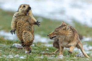 Wildlife Photographer of the Year award goes to Yongqing Bao for image of Tibetan fox attacking marmot