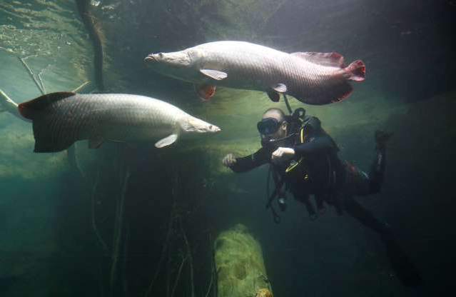 a group of fish in the water: FILE PHOTO: Diver Reeson checks on the Arapaima fishes in the tropical section of Europe's biggest freshwater aquarium Aquatis  in Lausanne