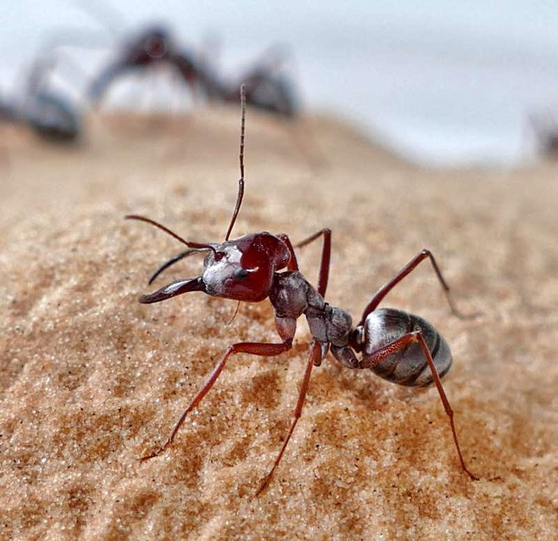 a insect on the ground: These are Saharan silver ant (Cataglyphis bombycina) workers in the desert at Douz, Tunisia.