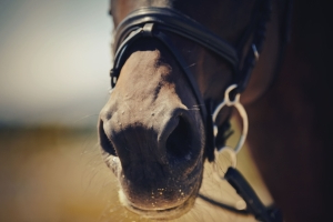 Hundreds of racehorses sent to slaughterhouses in contravention of racing rules