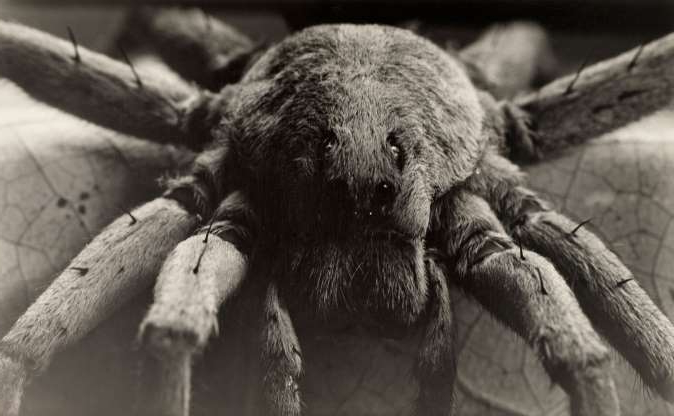 Slide 1 of 17: Among the largest of the wolf spiders, Carolina wolf spiders come out at night to hunt prey.