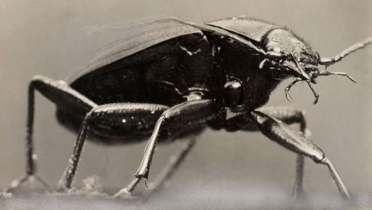 Slide 10 of 17: Ground beetles come in an diversity of colors—most are glossy and black, like this species, but others are iridescent, green, yellow, or orange.
