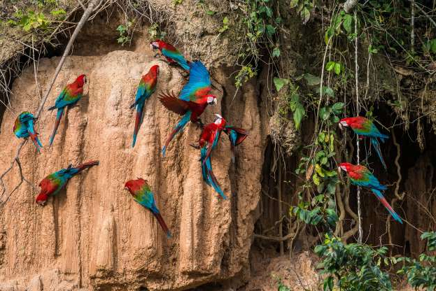 Slide 6 of 13: macaws in clay lick in the peruvian Amazon jungle at Madre de Dios Peru